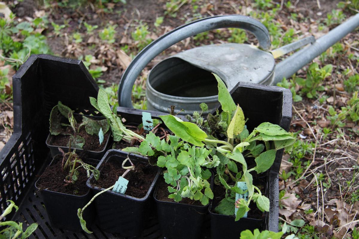 pflanzen pflanzen fr hjahr oder herbst herb s kr uter und stauden. Black Bedroom Furniture Sets. Home Design Ideas